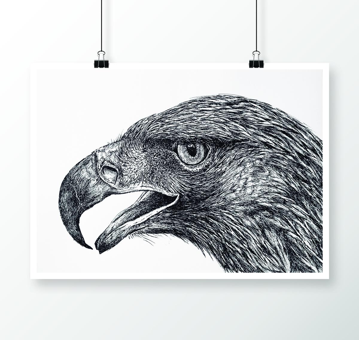 Águila Real (Aquila chrysaetos)_ilustracion boligrafo